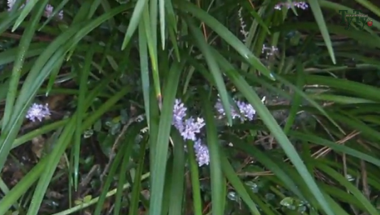 ליריופה כדנית 'רויאל פרפל' Liriope muscari Royal Purple, סירטון