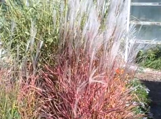 מיסקנתוס סגול , Miscanthus Purpurascens סירטון