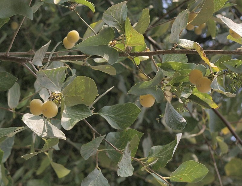 לבנה רפואי - Styrax officinalis