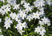צילום: By Maja Dumat (Flickr: Frühlingsstern (Ipheion uniflorum)) [CC BY 2.0 (http://creativecommons.org/licenses/by/2.0)], via Wikimedia Commons