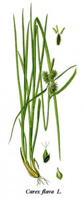 צילום: http://commons.wikimedia.org/wiki/File:Cleaned-Illustration_Carex_flava.jpg