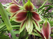 צילום: Hippeastrum papilio, Images from Gardenology.org, Items with OTRS permission confirmed