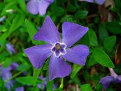 צילום: http://commons.wikimedia.org/wiki/File:Vinca_minor_002.JPG#filelinks