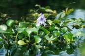 צילום: Eichhornia crassipes, Loktak Lake, PD USDA ARS