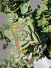 קרסולה מנוקבת Crassula perforata, סירטון