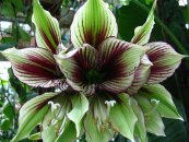 צילום: Flickr images reviewed by File Upload Bot (Magnus Manske), Hippeastrum papilio