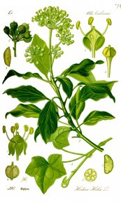 צילום: Araliaceae botanical illustrations, CC-PD-Mark, Hedera helix (illustrations)
