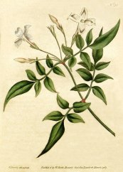 צילום: Jasminum officinale, Oleaceae botanical illustrations, PD US