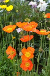 צילום: https://commons.wikimedia.org/wiki/File:Papaver_x_summer_breeze_orange_-2439.jpg