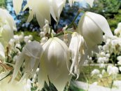 צילום: Uploaded with UploadWizard, Yucca filamentosa