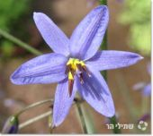 דיאנלה מופשלת 'ליטל רב' , Dianella revoluta Little Rev - סירטון