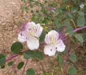 צלף קוצני - Capparis spinosa